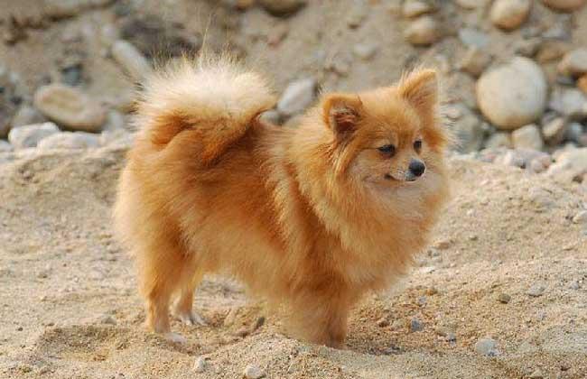 芬兰狐狸犬的智商_芬兰狐狸犬_芬兰狐狸犬价格