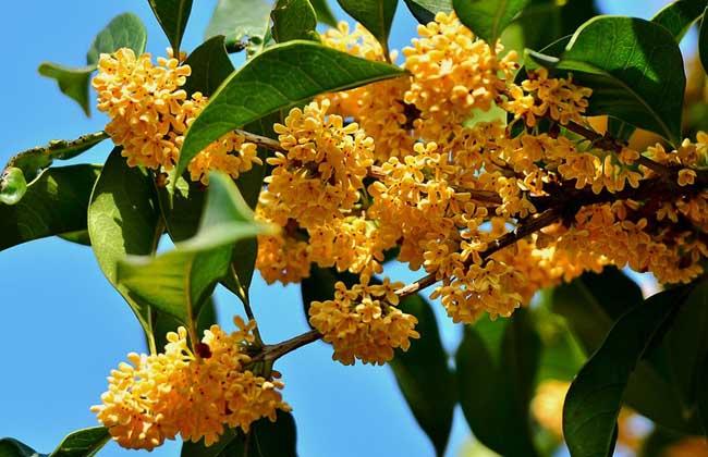也是观赏价值,经济价值和实用价值三者都很高的桂花品种,花朵金黄图片