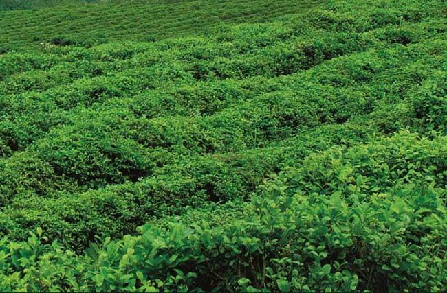 【图】茶树越冬病虫害防治方法
