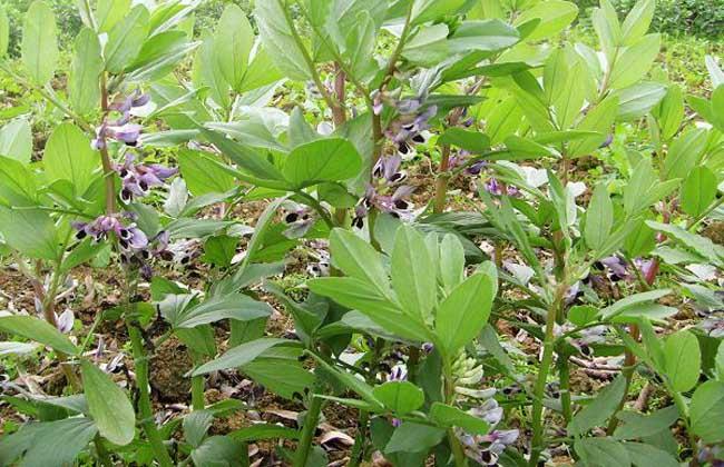 蚕豆的开花结荚期为60~65天,自开花结荚到叶片自然脱落