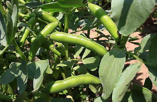 蚕豆叶片均匀变黄的原因