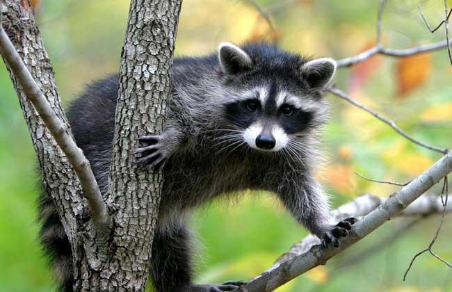 【图】果子狸是几级保护动物?