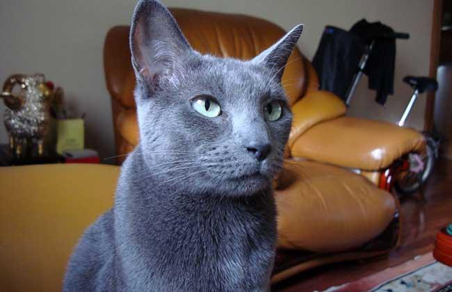 【图】俄罗斯蓝猫多少钱一只?俄罗斯蓝猫的选购