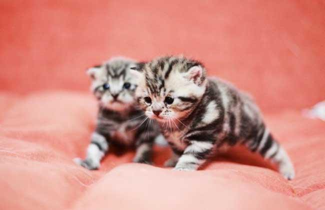 茶杯猫是微型猫咪,就是像茶杯大小的猫咪,甚至可以将其放入