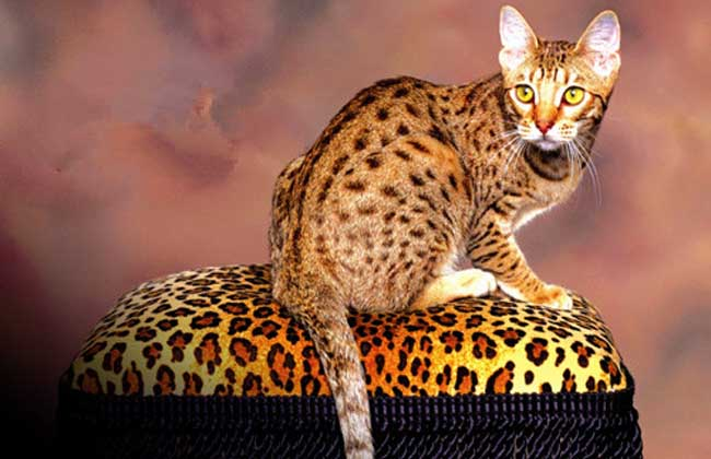 埃及猫的价格通常在5000~8000元左右一只.