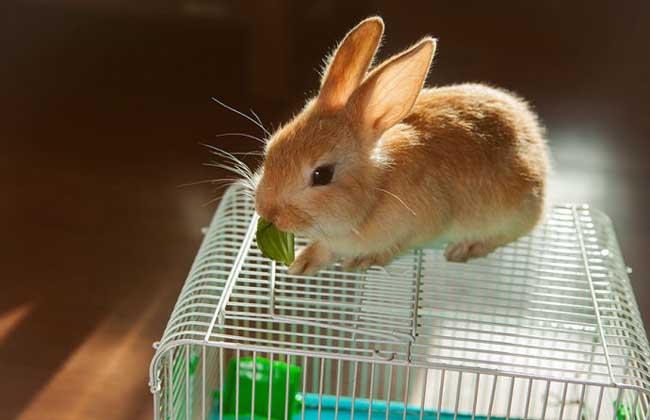 公主兔多少钱一只?
