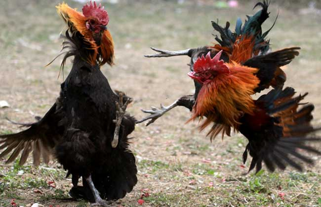 【图】斗鸡价格多少钱一只?斗鸡的挑选
