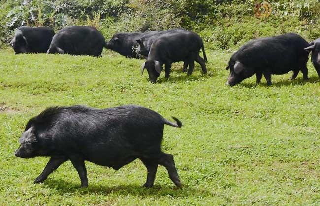蕨麻猪养殖视频_【图】藏香猪多少钱一斤? - 装修保障网