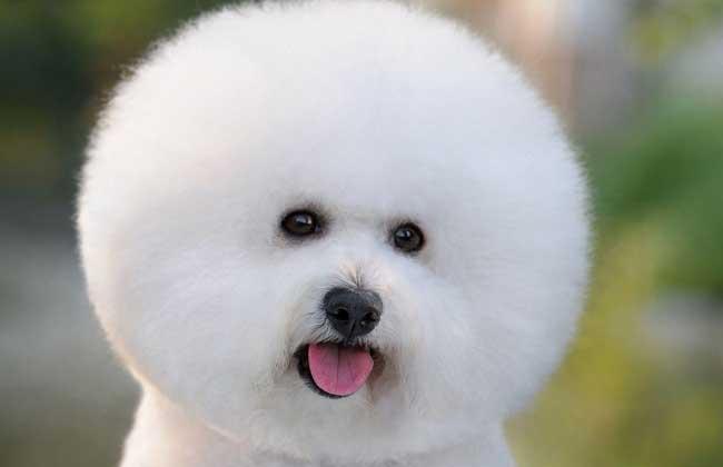 比熊犬怎么挑选好       比熊犬是一种娇小,非常可爱的小型宠物犬,是