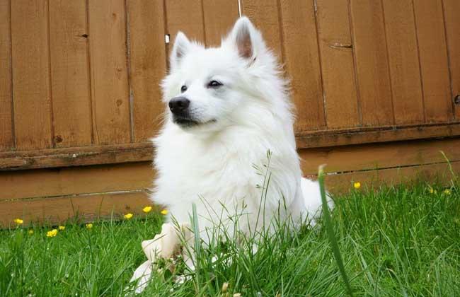 【图】爱斯基摩犬多少钱一只 爱斯基摩犬的挑选方法