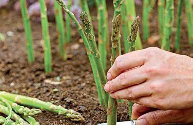 芦笋施用有机肥的技术