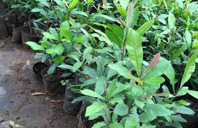 神秘果喜微酸性或中性土壤