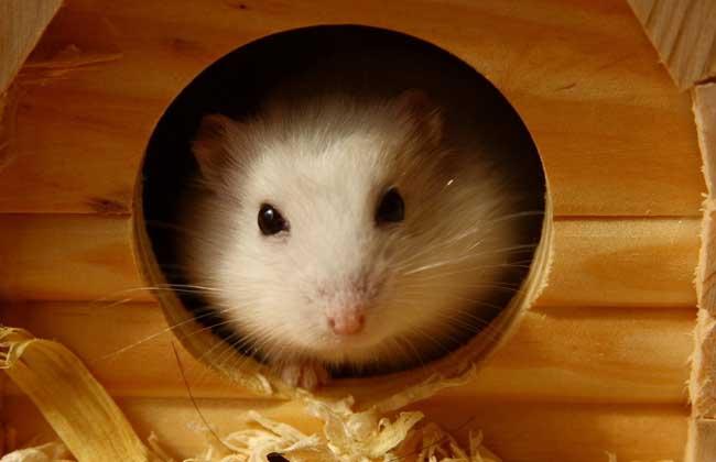 仓鼠公母怎么分图片