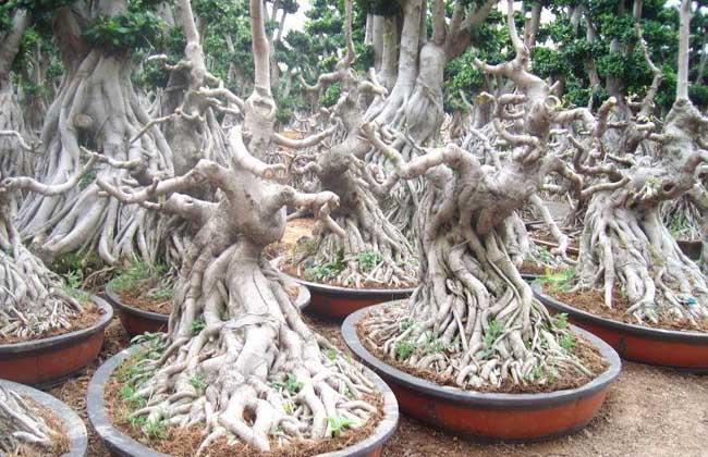气根榕树盆景价格 气根榕树盆景的养护