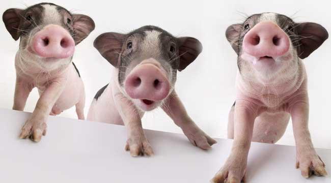 【图】宠物猪的价格