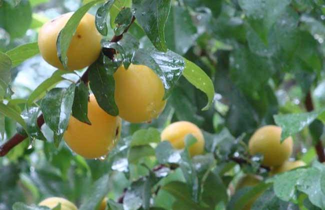 梅果的营养价值非常丰富,含有多种有机酸,维生素,黄酮和碱