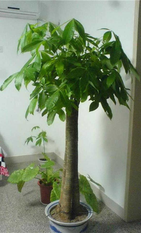 代表有发财树,富贵竹,龙血树,君子兰,球兰,仙客来,柑橘,虎尾蓝,宽叶榕