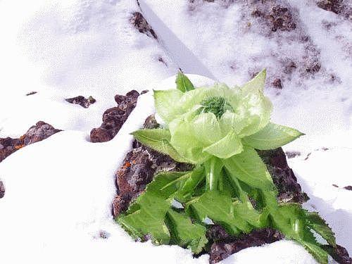 生活小常识:雪莲花的功效与作用 雪莲花不同的吃法