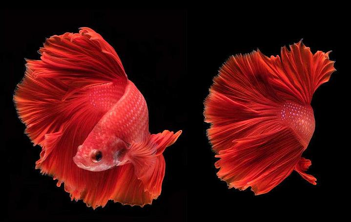 【图】斗鱼怎么养 新手养殖斗鱼注意事项