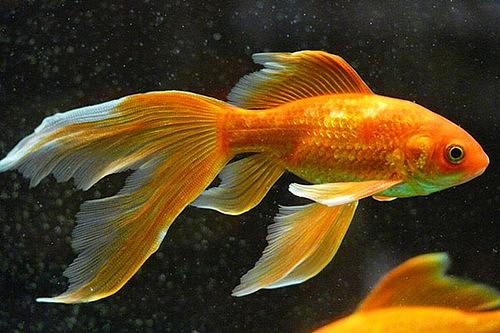 【图】草金鱼怎么养漂亮 家庭养鱼有什么讲究