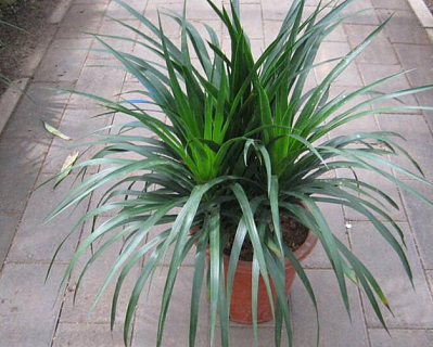 客厅适合摆放什么植物 哪些植物可以招财旺风水