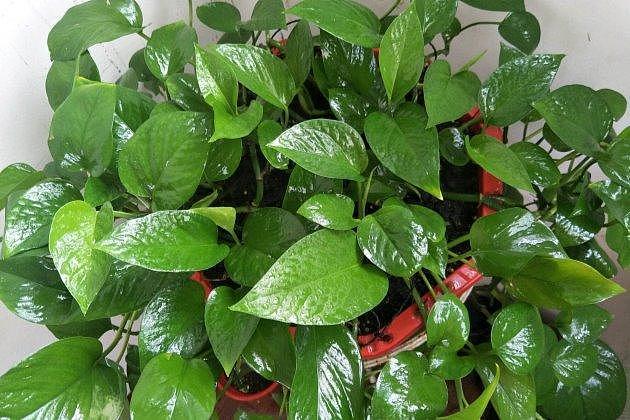 冬天绿萝叶子变黄原因以及补救方法