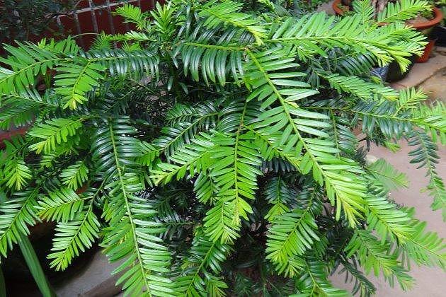 冬季红豆杉怎么养植 做好这四大方面缺一不可