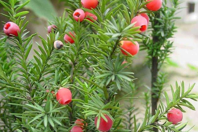 红豆杉冬天会冻死吗 红豆杉冬天养殖注意事项