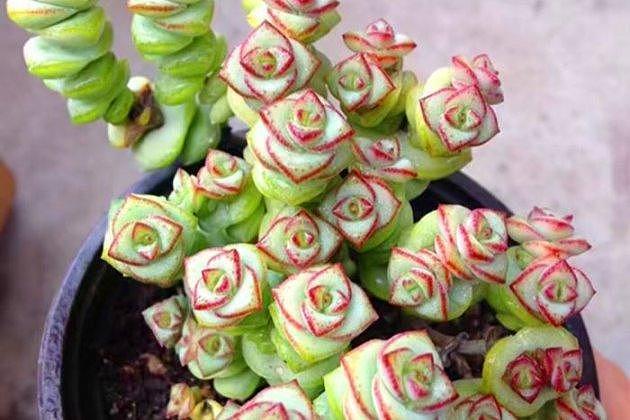 多肉植物串子怎么养 教你爆棚的养殖方法