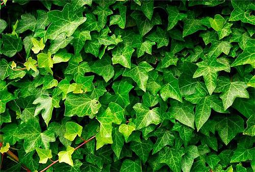 常春藤怎么养长得快 常春藤养殖五大注意事项