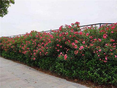 夹竹桃有毒吗 适合家庭养殖的植物有哪些