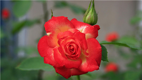 月季花的品种有哪些 月季花怎么养比较好看