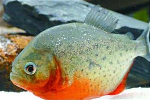 【图】水虎鱼价格会贵吗 如何才能养好水虎鱼
