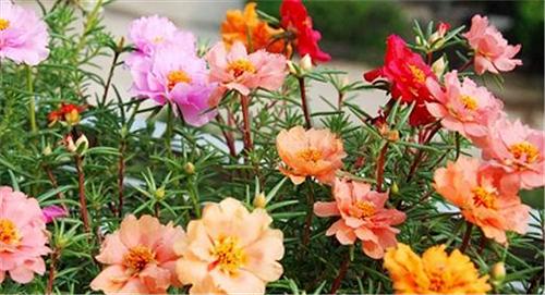 太阳花种植要注意什么 种植太阳花的方法