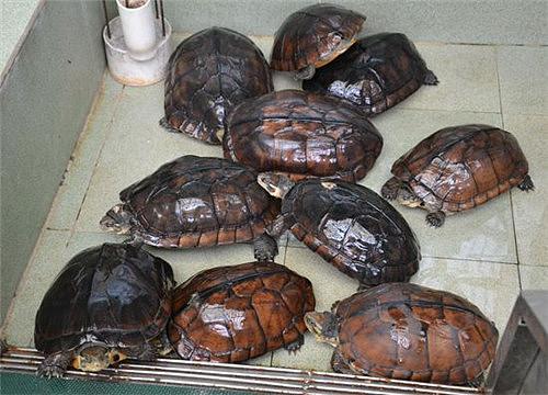 【图】石龟是什么龟 怎样做可以将它养好