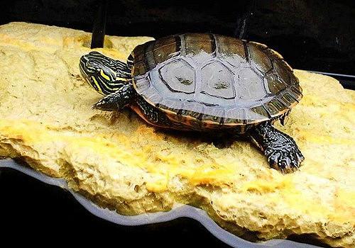 【图】宠物龟的种类介绍 宠物龟吃什么长得快