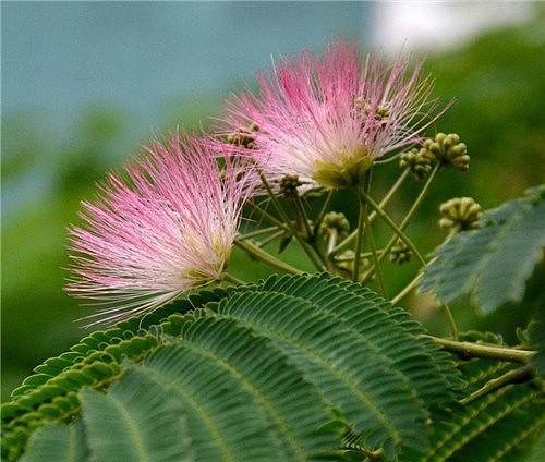 凤尾花怎么种 6大种植要素为您揭晓