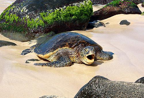 【图】鳄鱼龟价格 养殖乌龟需要注意什么
