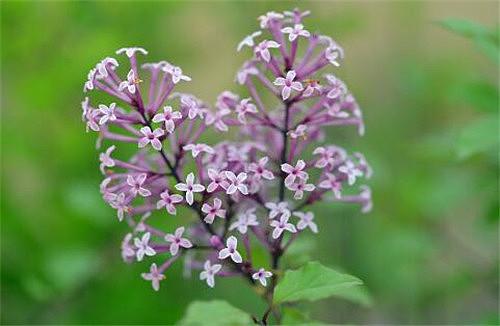 小叶丁香一年开几次花 丁香花可以室内种植吗