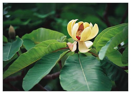 日本厚朴的种植方法 怎么让日本厚朴茁壮成长