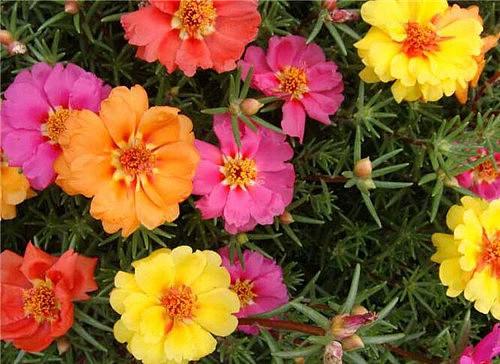太阳花的花语是什么 太阳花怎么养合适