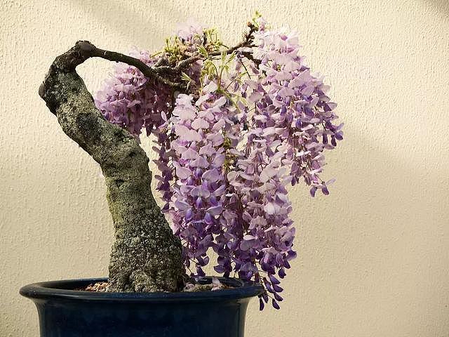 紫藤这么美你却不知道怎么养?赶紧学起来