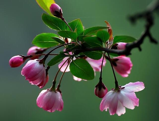 海棠花种类有哪些 海棠花花语你了解多少呢?