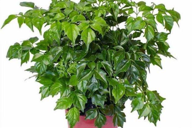 幸福树怎么修剪 这样来一刀枝繁叶茂绿油油!