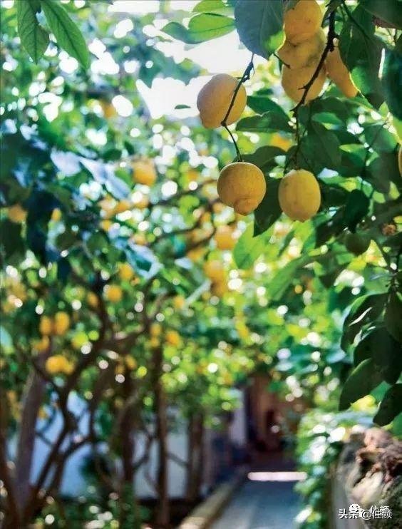 柠檬树好种吗 用30块换家中一片清新