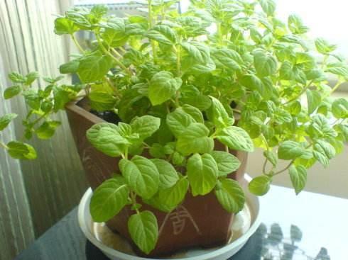 """吸油烟的植物 买几盆放厨房给油烟机当""""帮手"""""""