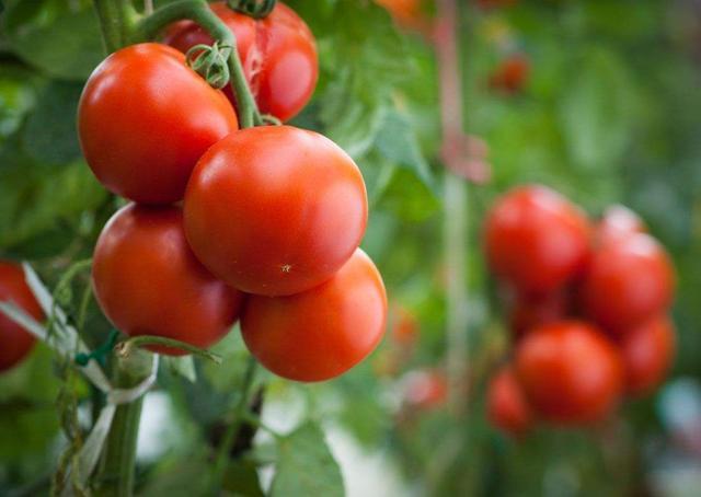西红柿种植方法 现在种5天发芽夏天之前就能吃了
