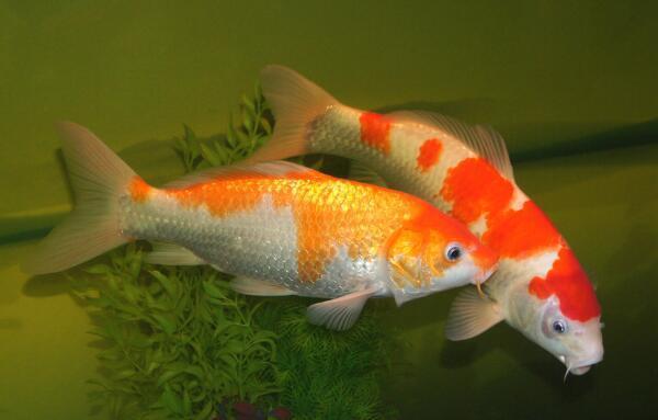 家里养什么鱼招财风水好 为什么养鱼不能养双数