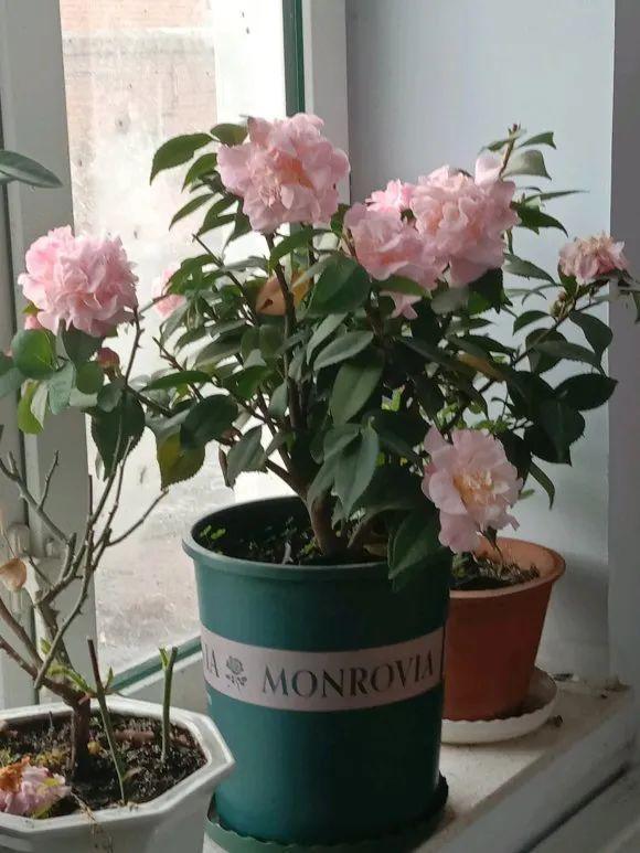 这几种爱开花的家养植物 最适合不会养花的小白