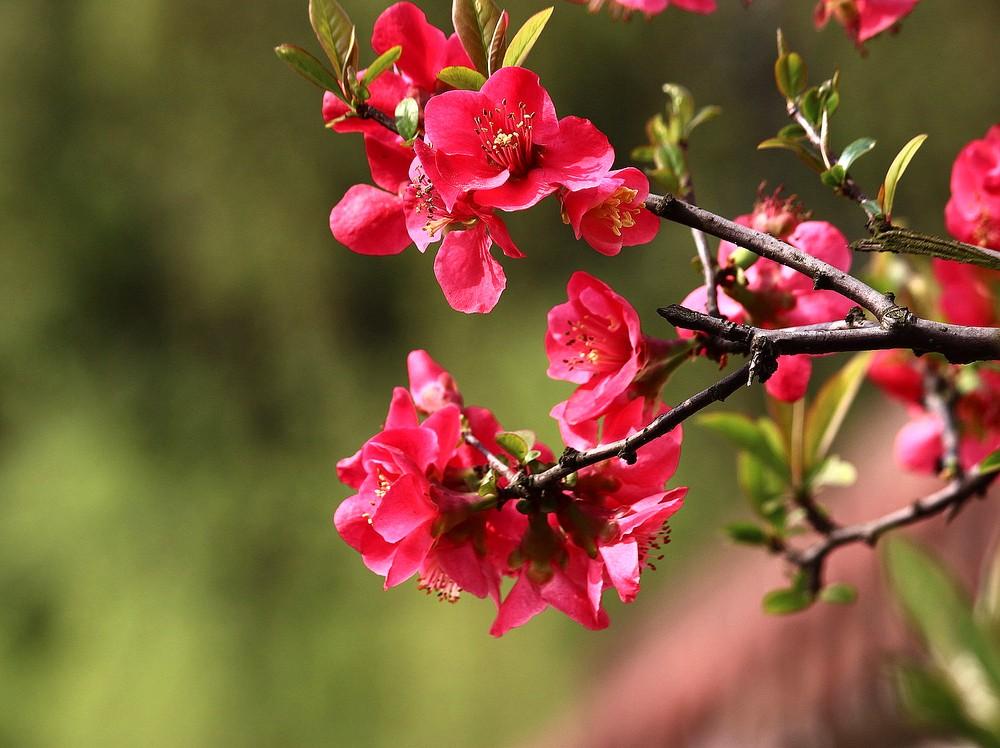 【图】描写海棠花的诗句 海棠花图片欣赏